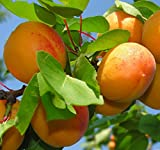 "6-12"" Sweet Apricot Tree Potted Plant, Nice Starter Plant, Nice addition to your Garden, Simply Gourgeous Flowering Perenial"