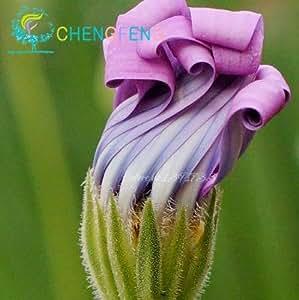 50 Margarita azul plantas resistentes semillas de flores flores ornamentales exóticas