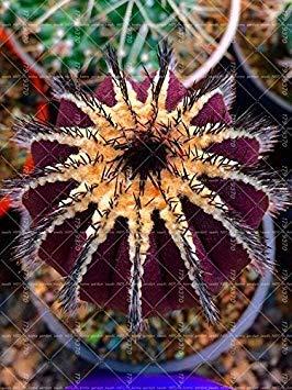 Sukkulenten Die Fã¼r Reinigen Luft Verhindern 11 Hausgarten Stã¼cke Feigenkaktus Lady Bonsai Blumensamen Topfpflanze 100 Kaktus Vero Samen Fash Strahlung 4pAqwI66