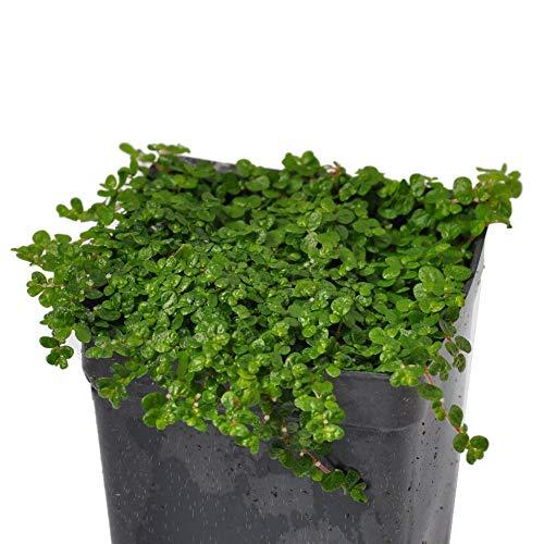 Baby Vines - Miniature Fairy Garden Soleirolia soleirolii, Baby Tears, Green