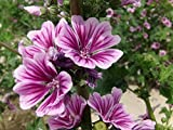 Malva Common Mallow Herbaceous Perennial Plants 1000 Seeds