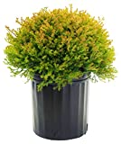 Thuja occidentalis 'Fire Chief' (Globe Arborvitae) Evergreen, 2 - Size Container