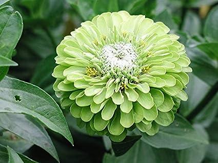 ENVY ZINNIA DAHLIA LIME GREEN 360 SEEDS Zinnia elegans dahlia flowered