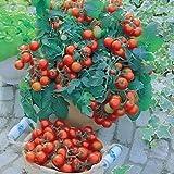 Raunak Seeds Cherry Tomaten B Gartenperle 50 Seeds Pack