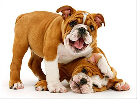 - Playful Bulldog Puppies Funny Dog Birthday Card