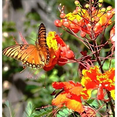 Caesalpinia pulcherrima, flowering Dwarf Poinciana Pride of Barbados - 10 seeds : Garden & Outdoor