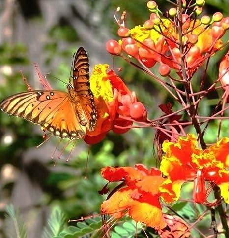 Caesalpinia pulcherrima Dwarf Poinciana Seeds Red Flower Butterfly Garden