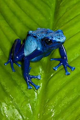 - Blue Poison Dart Frog very tiny poisonous frog native to South America Poster Print by San Diego Zoo (12 x 18)