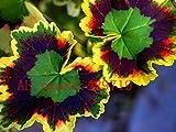 100 pcs rare japan Geranium Seeds Perennial Flower Pelargonium Peltatum Seeds Indoor Rooms for ornamental-plant Easy to grow