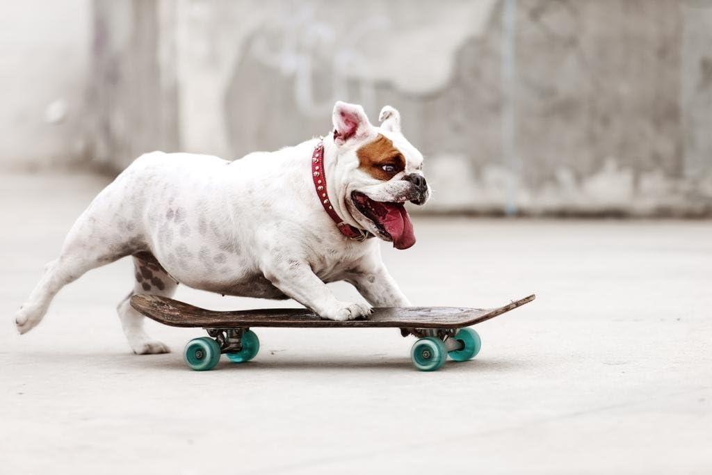 Cool Bulldog Skateboarding to Skate Park Photo Photograph Cool Wall Decor Art Print Poster 36x24