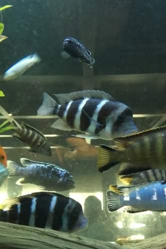 Frontosa And African Cichlid Fish In The Aquarium Journal Take