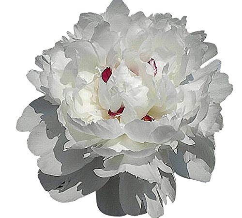 Peony - Shirley Temple - Double White with Blush Pink