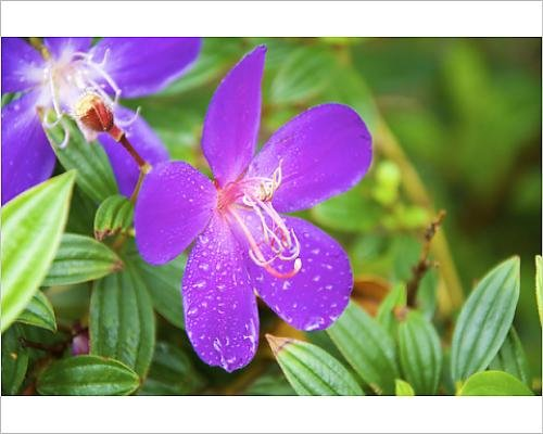 Tibouchina Urvilleana Princess Flower (Photographic Print of Sai Kung A Princess flower or Glory Bush, (Urvilleana tibouchina))