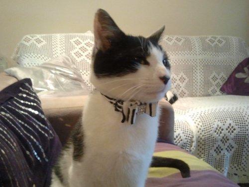 collier pour chat collier de velours noir pour animal domestique avec nud papillon et clochette zebra amazonfr animalerie