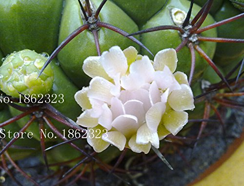 Hot!100 + Radiation-resistant succulents health and stone flowers stone flower rabbit seeds Lithops Pseudotruncatella seeds