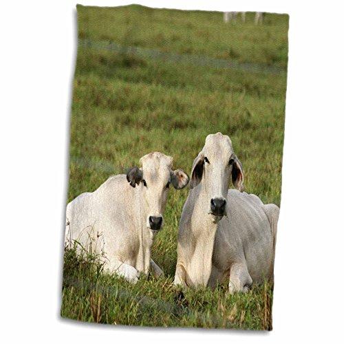 3drose-danita-delimont-farm-animals-costa-rica-farm-animals-cows-corcovado-peninsula-sa22-kwi0000-ky