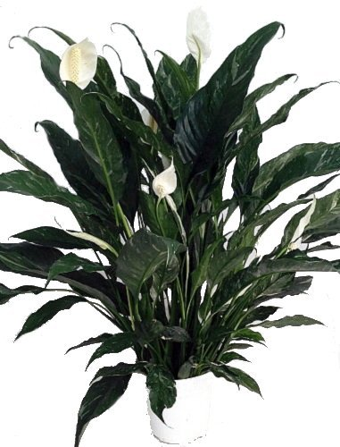 indoor house plant watering hose html with Domino Peace Lily Plant Spathyphyllium New Easy 6 Pot Reviews  Pare Deals on Neudorff Nemasprayer also 40 Foot Indoor Outdoor Coil Hose also Gardena Connector Set moreover 4 5l Stainless Steel Watering Can 14689075886984997 furthermore Domino Peace Lily Plant Spathyphyllium New Easy 6 Pot Reviews  pare Deals.
