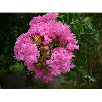 Amazon 35 dark pink crepe myrtle lagerstroemia flowering shrub 35 dark pink crepe myrtle lagerstroemia flowering shrub bush small tree seeds mightylinksfo