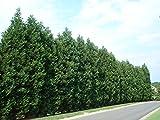 Leyland Cypress Tree - Live Plant - 2-3 Feet Tall - Trade Gallon pot