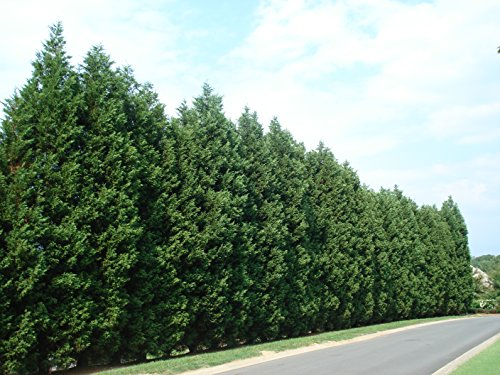 Leyland Cypress Tree - Live Plant - 2-3 Feet Tall - Trade Gallon pot