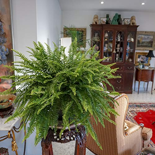 United Nursery Jumbo Boston Fern, Live Indoor and Outdoor Hanging Basket Plant. 42 to 44 Inches Shipping Size. Shipped Fresh from Our Florida Farm by United Nursery (Image #1)