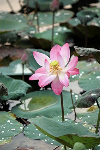 LAMINATED 24x36 inches Poster: Lotus Flowers Pink Blossoms B