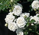 Icy White Drift Groundcover Rose - Live Plant - Full Gallon Pot