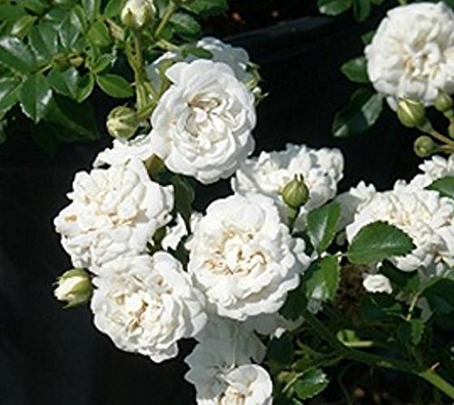 Icy White Drift Groundcover Rose - Live Plant - Full Gallon Pot by New Life Nursery & Garden (Image #4)