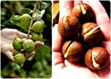 5 seed Macadamia Macadamia integrifolia Beautiful Tree Taste Great