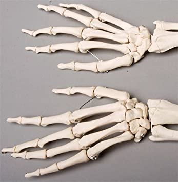 Skeleton Forearms- life-size- pair- 2nd class