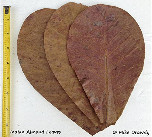 "Imperial Tropicals 12 Catappa Indian Almond Leaves (~4"") Great for inducing breeding and naturally lowering pH"