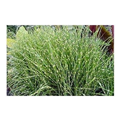 Shopvise Miscanthus Sinensis Zebrinus Zebra Maiden Grass Seeds : Garden & Outdoor