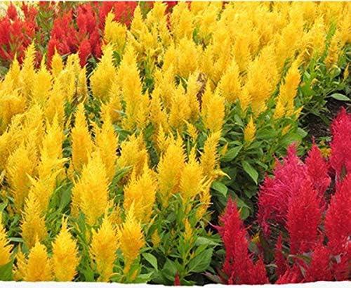 Cresta de gallo Semillas de flores coloridas 50+ Gallo mezclado Ciruela gigante Loco (Celosia Argentea) para la plantación de bonsai Jardín Jardín al aire libre Interior: Amazon.es: Jardín