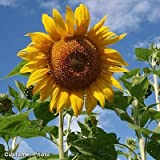 David's Garden Seeds Sunflower Mammoth Grey Stripe Tall Single DHGSGA (Yellow) 50 Open Pollinated Seeds
