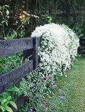 50pcs Bag Rare Climbing Jasmine Flower Seeds