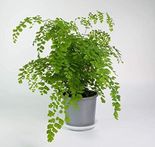 "Maidenhair Fern aka Adiantum Live Plant - Indoor Live Plant Fit 4"" Pot"