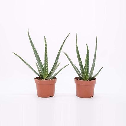 Echte Aloe Vera ca 30 cm hoch 1 Pflanze