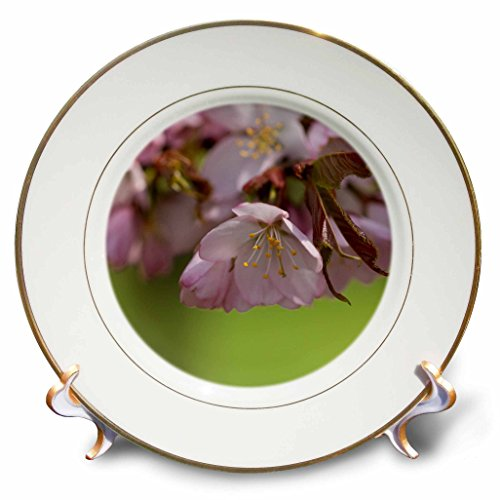 3dRose Alexis Photography - Flowers Sakura Beautiful - Bunch of pink Sargent cherry sakura flowers, smooth green background - 8 inch Porcelain Plate - Plates Sargent