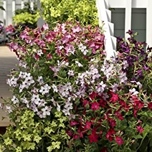 # 1355 Mix fioritura gelsomino 25 seeds.fragrant.rare. 51u4dAV0ZrL. SS300