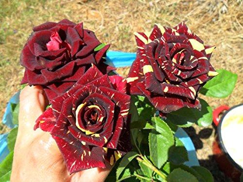 (Rare Abracadabra Rose Long Lasting Magical Roses 1 Live Flowering Plant)