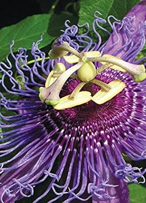 Passion Flower (Passiflora incarnata), 50 Certified Pure Live Seed, True Native Seed