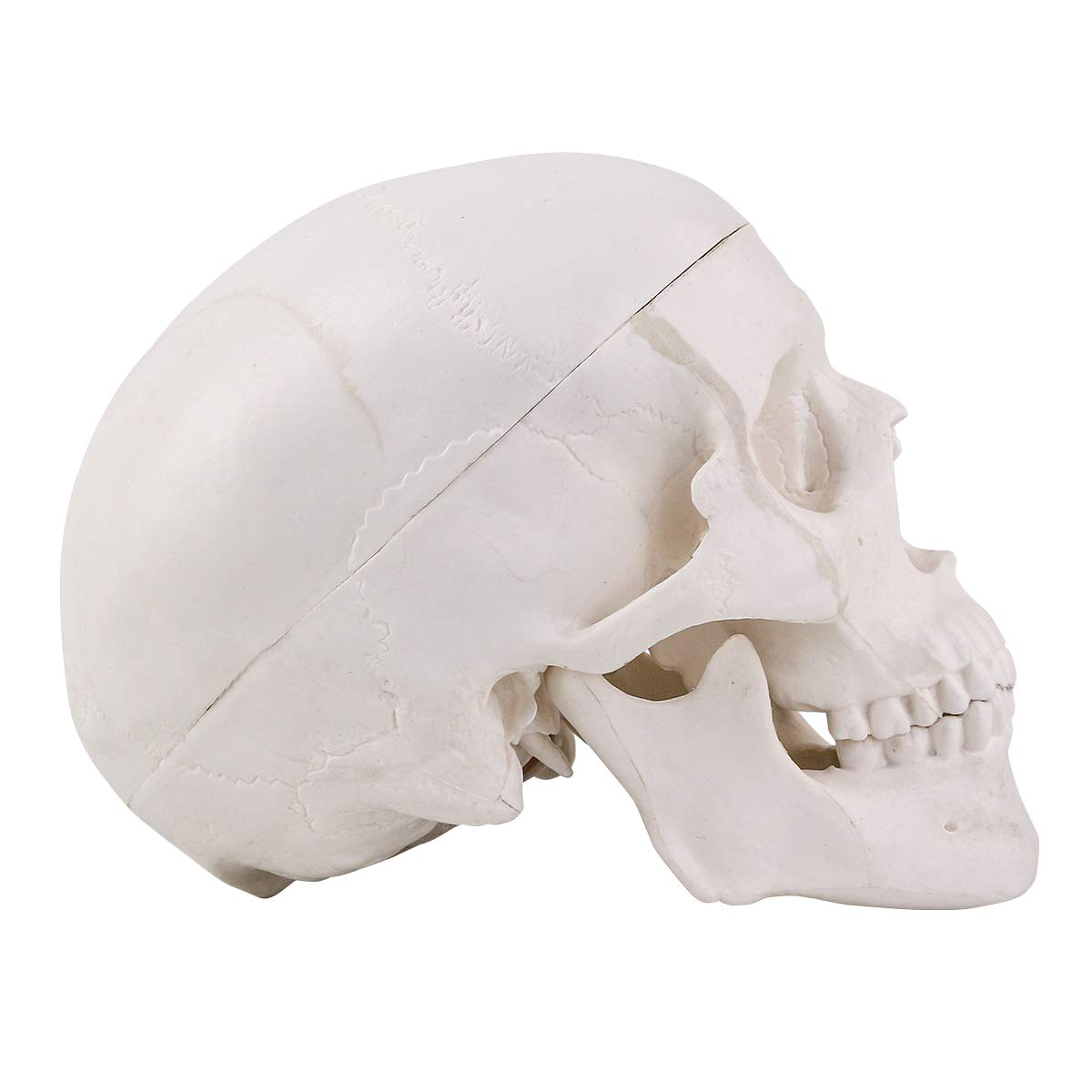 LYOU Human Skull Anatomical Model Hand-Painted in Color Suture Line New Version Life Size 3 Part Adult Human Anatomy Head Skeleton Model with Removable Skull Cap and Moving Jaw