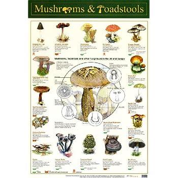 Laminated Mushrooms u0026&; Toadstools Fungi Mini Poster 40x60cm  sc 1 st  Amazon.com & Amazon.com: Laminated Mushrooms u0026 Toadstools Fungi Mini Poster ... islam-shia.org