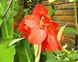 5 RED CANNA LILY Indian Shot Canna Indica Flower Seeds *Comb S/H