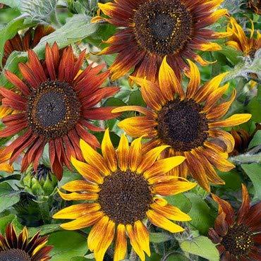 Sunflower Seeds to Plant A Mix of Sunflowers Velvet Queen, Autumn Beauty, Dwarf Sunflower, Sunspot, Mammoth, Teddy Bear, Lemon Queen, and Sungold.