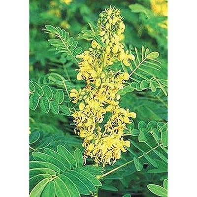 Wild Senna (Cassia marilandica), Seed Packet, True Native Seed : Tree Plants : Garden & Outdoor