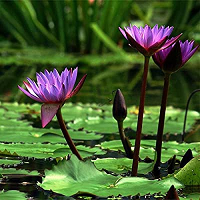 QiBest Perennial Bonsai Mini Lotus Seeds Bonsai Plant Seeds Aquatic Plants : Garden & Outdoor