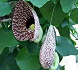 "Hardy Dutchman's Pipe Vine - Aristolochia durior - 2.5"" Pot"