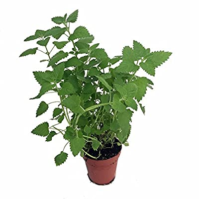 "Lemon Balm Perennial Herb Plant - Heirloom - Melissa - 3"" Pot"