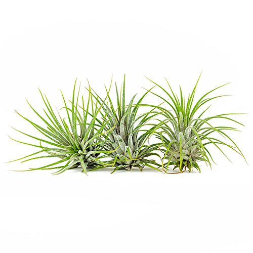 Air Plants - Tillandsia Ionantha Guatemala - Choose Your Custom Quantity - Fast Shipping - Includes Free PDF E-Book (75) by Air Plant Shop (Image #2)